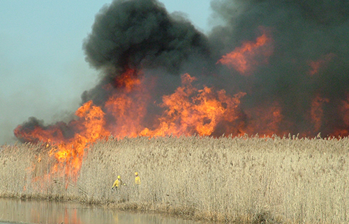 phragmites controlled burn