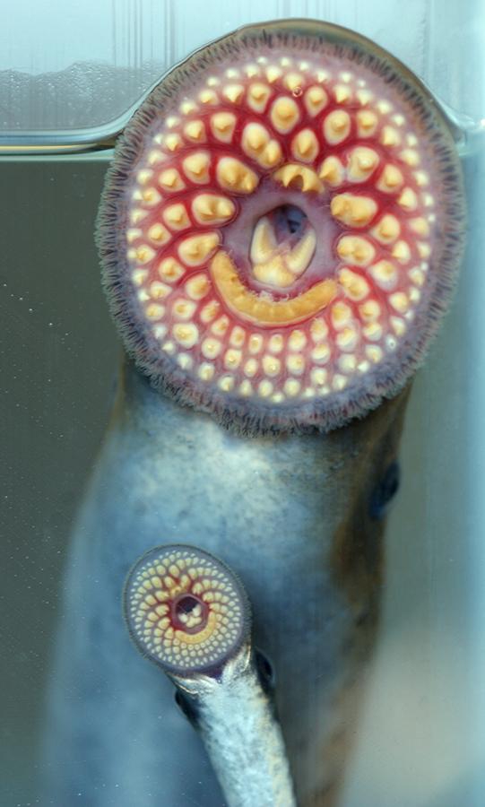 sea-lamprey mouths seen from an aquarium