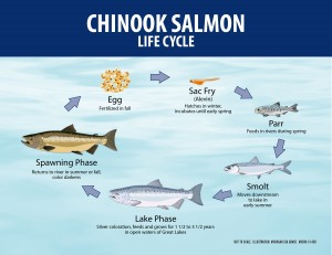 13-408 Chinook Salmon Life Cycle