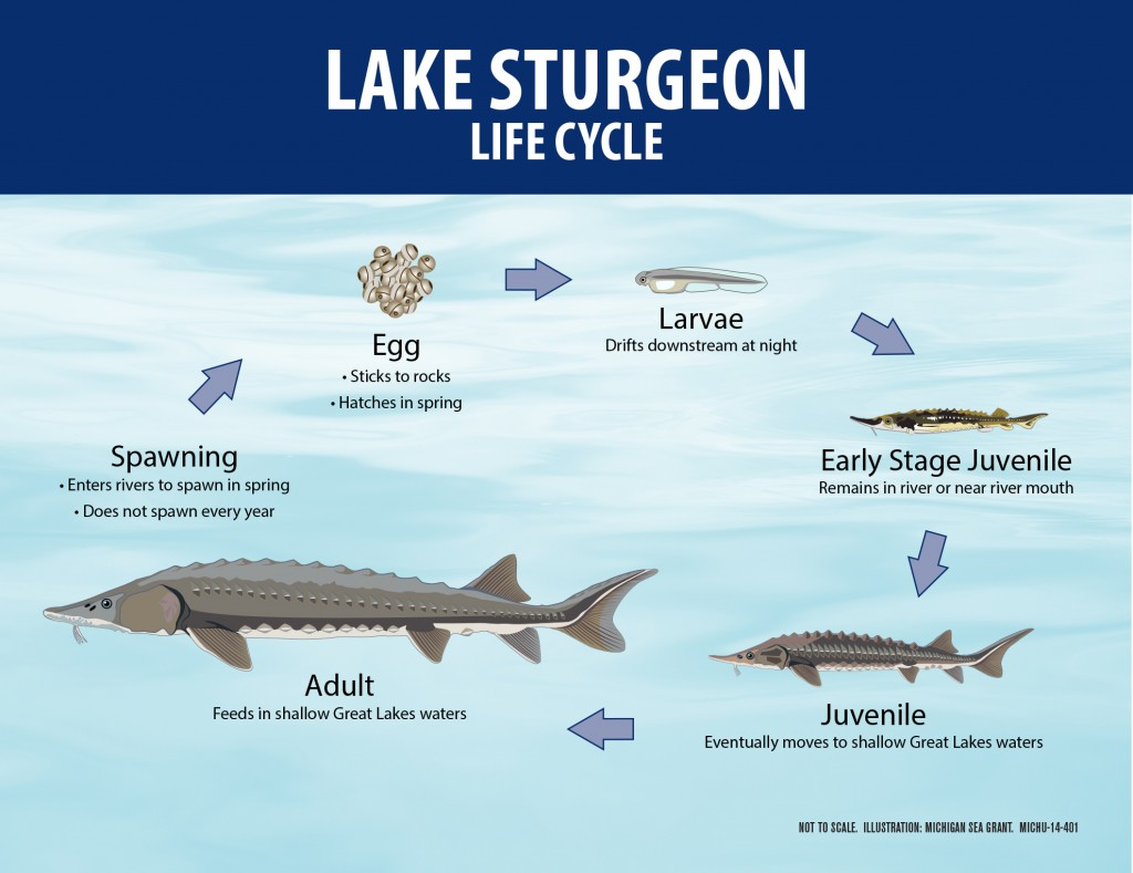 Lake Sturgeon Life Cycle