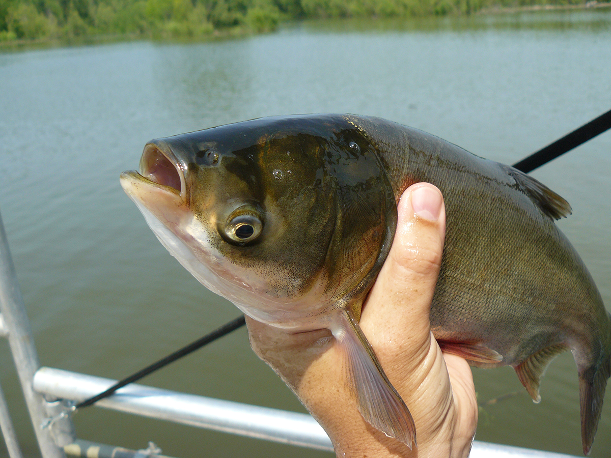 Picture of asian carp — img 10