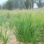 Marram grass, Ammophila breviligulata