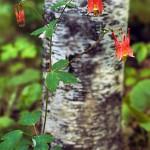 Aquilegia canadensis, Wild columbine