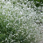 Baby's-Breath, Gypsophylia