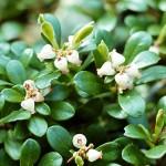 Bearberry, Arctostaphylos uva-ursi