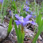 Dwarf Lake Iris, Iris lacustris