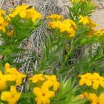 Hairy Puccoon, Lithospermum caroliniense