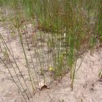 Juncus balticus, Baltic rush