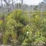 Shrubby cinquefoil, Potentilla fruticosa