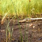 Softstem Bulrush, Schoenoplectus tabernaemontani