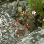 Herb Robert, Geranium robertianum