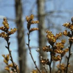 Sweet gale, Myrica gale, detail