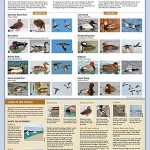 Dabblers-and-Divers-poster-400