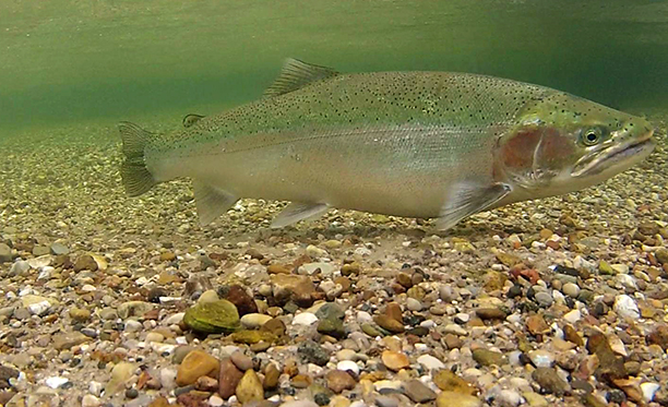 Although steelhead are not native to Michigan, they have been spawning naturally in streams including the Little Manistee River since the late 1800s.