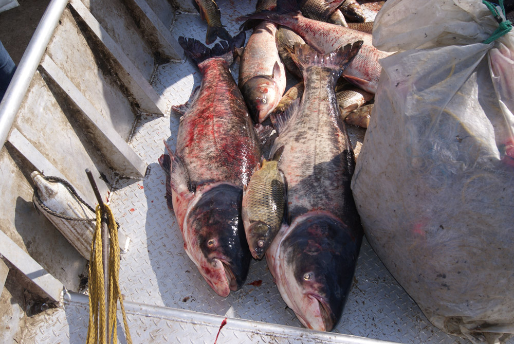 Group of Asian carp