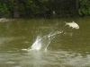 Airborne Silver carp