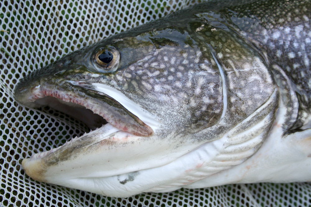 Lake trout michigan sea grant for How to fish for lake trout