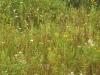Lakeplain prarie plants