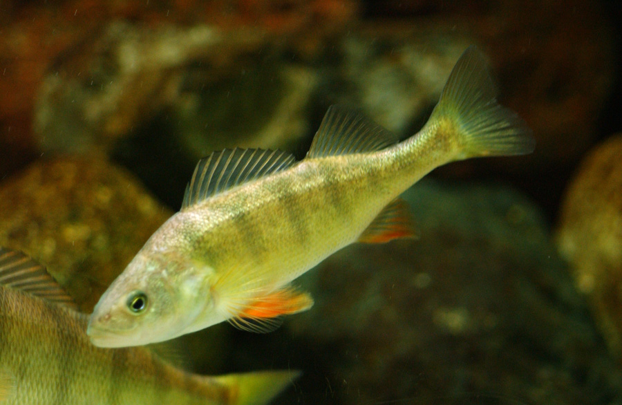 Yellow perch michigan sea grant for Ocean perch fish