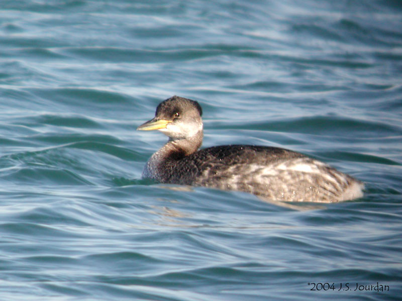 Red necked grebe