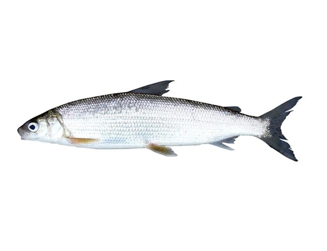 Lake whitefish michigan sea grant for White fish types
