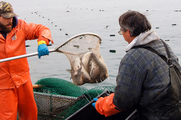 Fisheries Whitefish trap netting