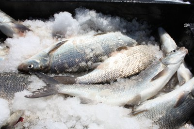 Lake whitefish on ice. Photo: Michigan Sea Grant