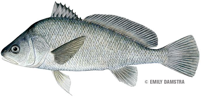 Freshwater drum - Aplodinotus grunniens copy