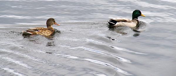 Mallard Ducks_Canada Geese 009