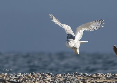 The incredible snowy owl has shown up this winter in large numbers across the Great Lakes