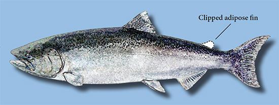 Salmon_Adipose_fin