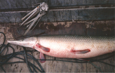 This gravid female alligator gar served as broodstock at Private John Allen National Fish Hatchery in Tupelo, Miss.