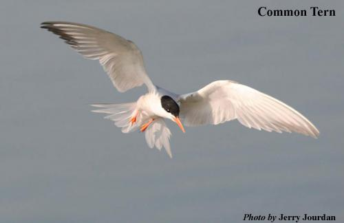 Common Tern. Photo: Jerry Jourdan
