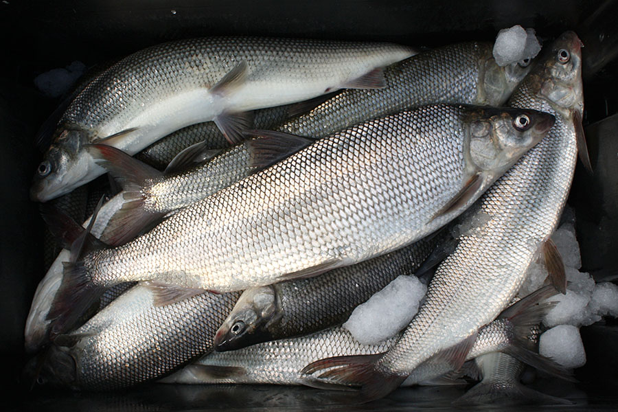 Lake Whitefish catch