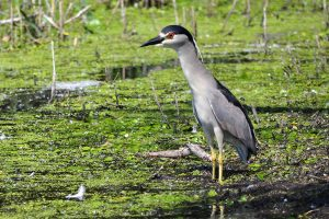 Black Crowned Night Heron in marsh