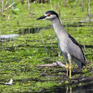 Black Crowned Night Heron in marsh