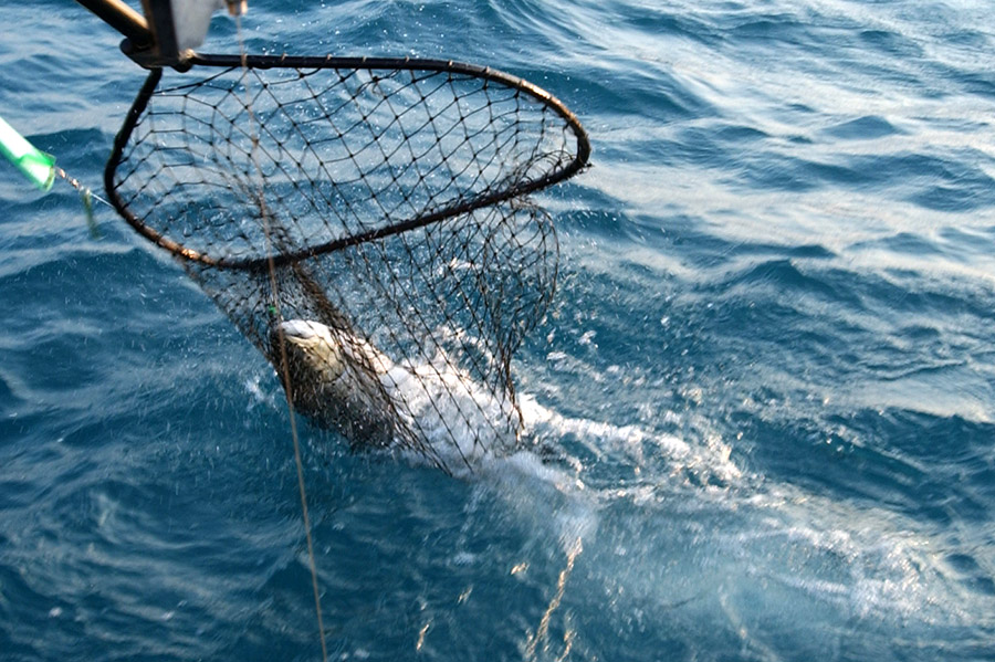 fish caught in net