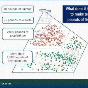 diagram showing how many pounds of food to feed 10 lbs of salmon