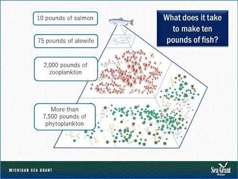 This pyramid of consumption for Lake Michigan shows how much food was required to produce a single 10-pound Chinook salmon in Lake Michigan before the invasion of spiny water fleas and exotic mussels.
