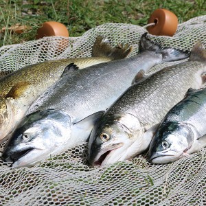 4 caught fish on a fish net