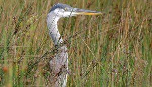 Great Blue Heron in a wetland