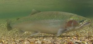 steelhead fish at bottom of river
