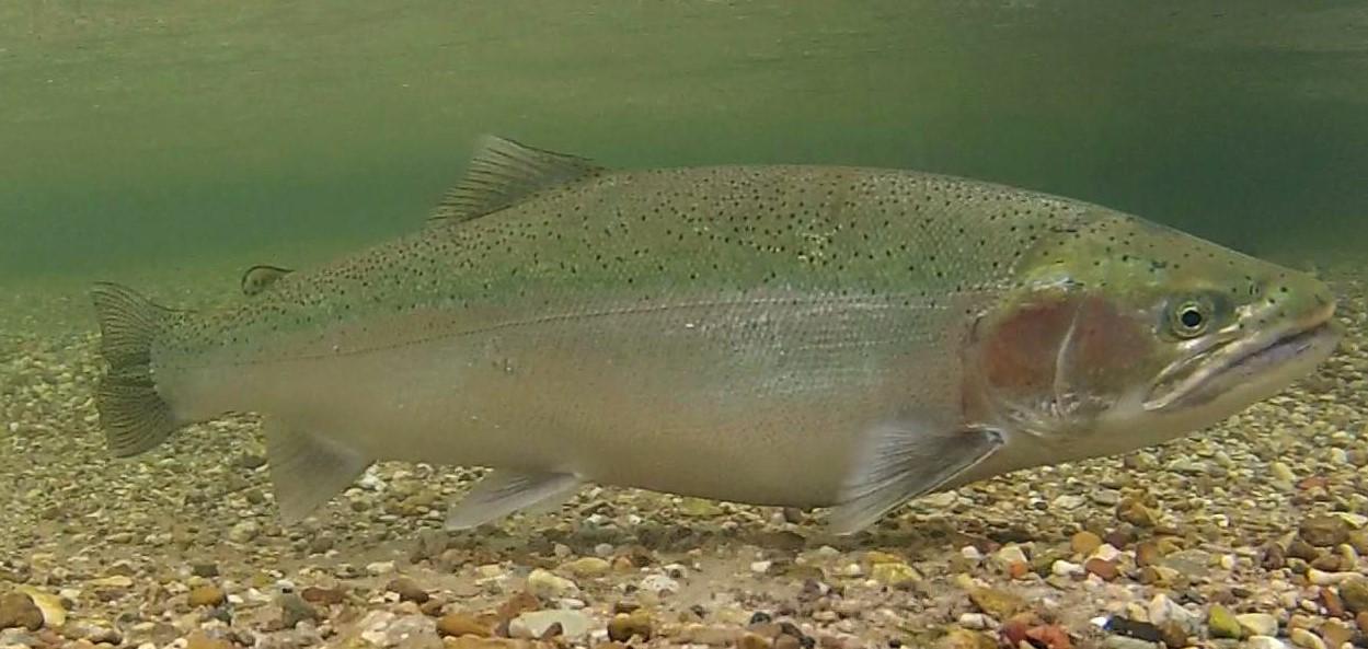 steelhead fish at bottom of river
