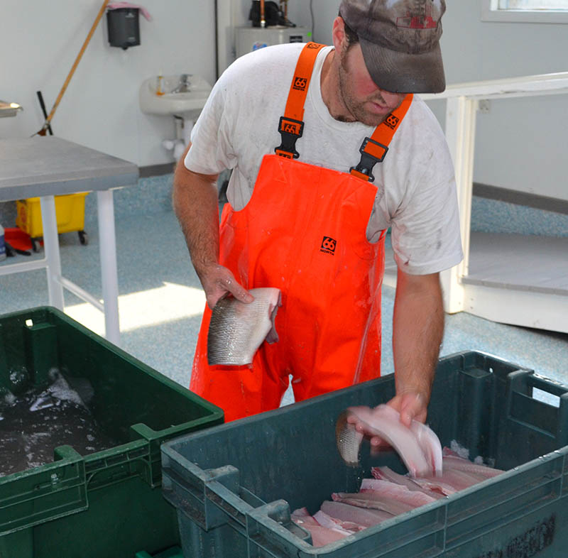 Commercial Whitefish processing