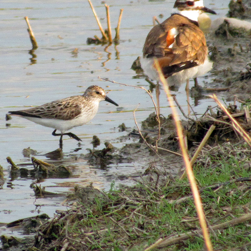 Semipalmated Sandpiper with Killdeer along the shoreline