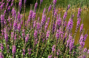 A stand of purple loosestrife in a field