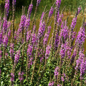 A stand of purple loosestrife, invasive species (AIS) in a field
