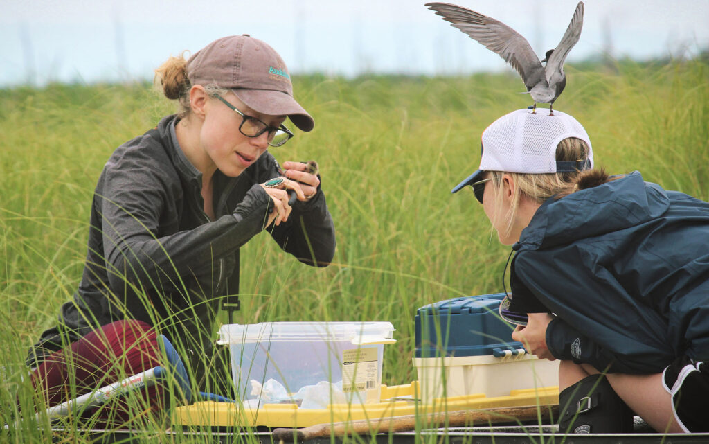 Black Tern nesting research project